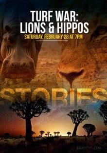 Война за территорию. Львы и бегемоты, 2013