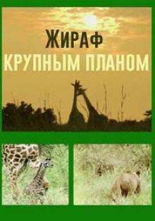 Жираф крупным планом, 2015